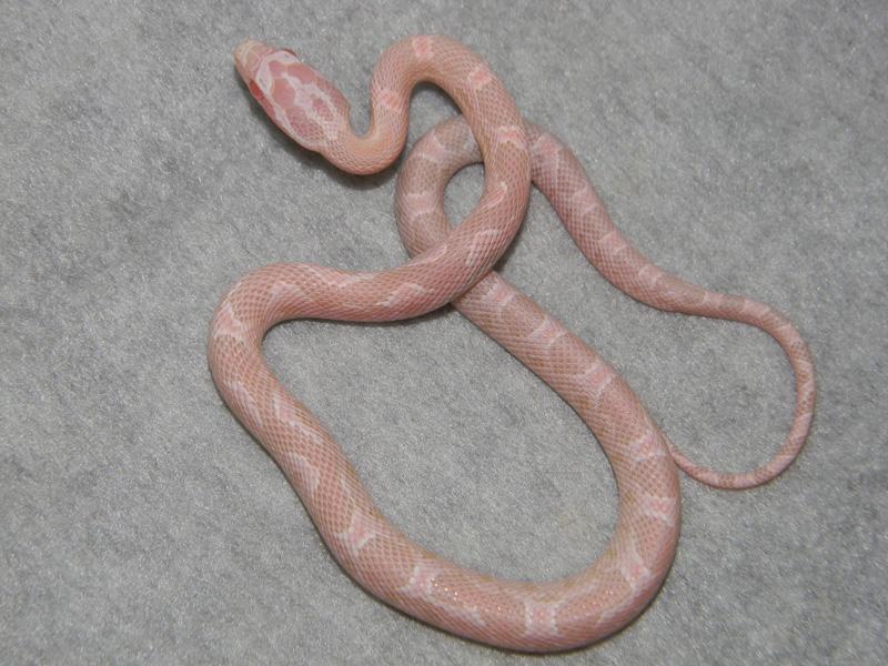 Strawberry Snow Corn Snake – Articleblog info