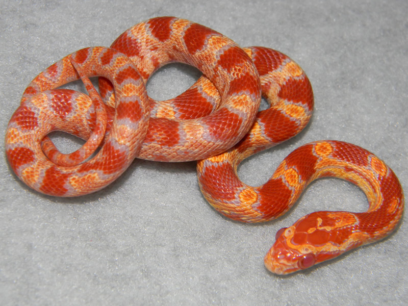 What color are albino snakes? | Yahoo Answers