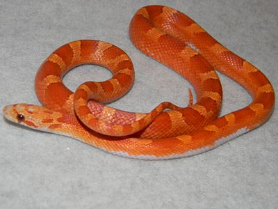 Corn Snakes Photos, Pictures. Morphs, Snakes, Reptiles