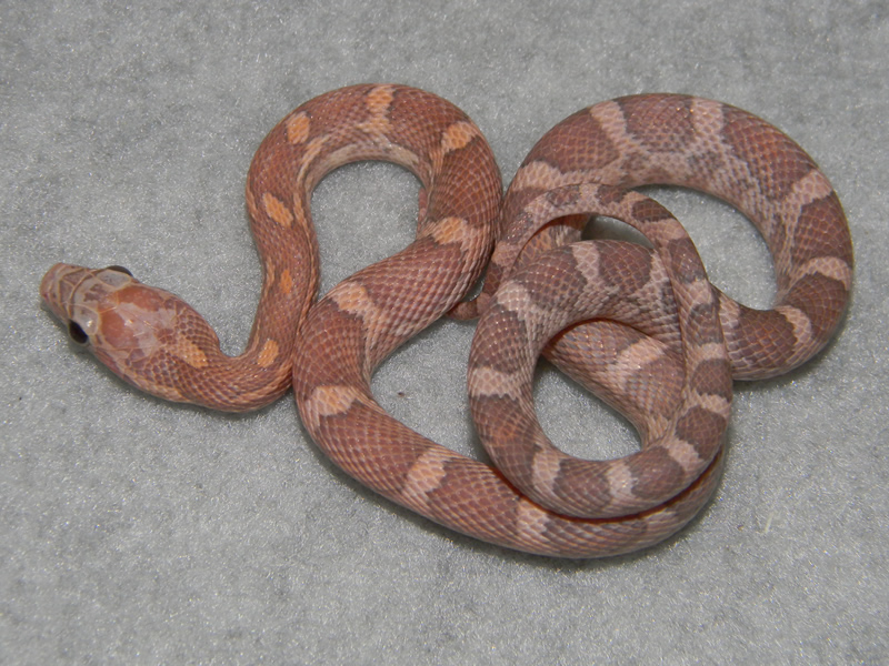 Lavender Corn Snake Description: lavender corn