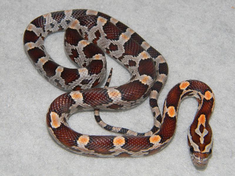 classic corn snake - photo #4