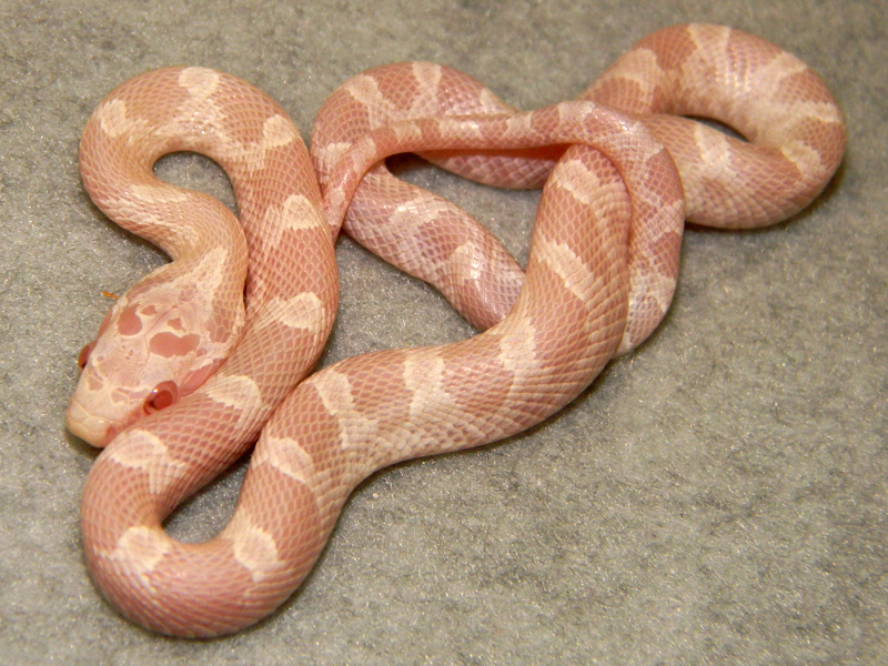 Baby Albino Corn Snakes Baby Snow Corn Snake