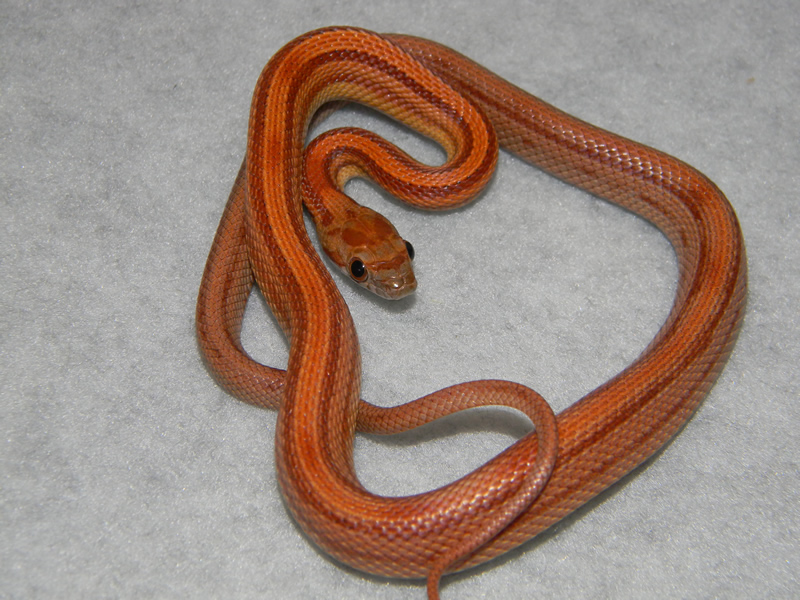 Corn Snakes Photos Pictures Morphs Snakes Reptiles