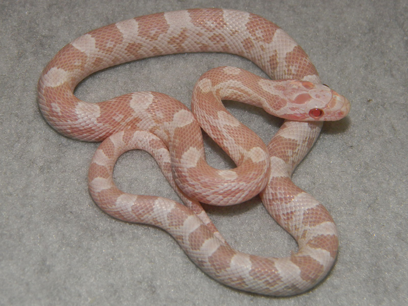 Snow Corn Snakes For Sale Buy A Snow Corn Snake Pictures